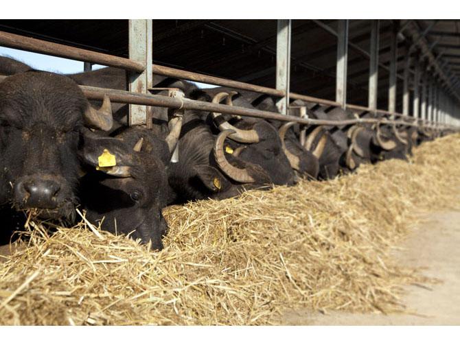 bufflonnes